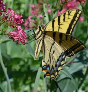 P1000676-small butterfly in garden