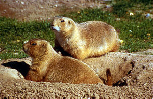 Prairie dogs are extinct in perhaps 98% to 99% of their former range